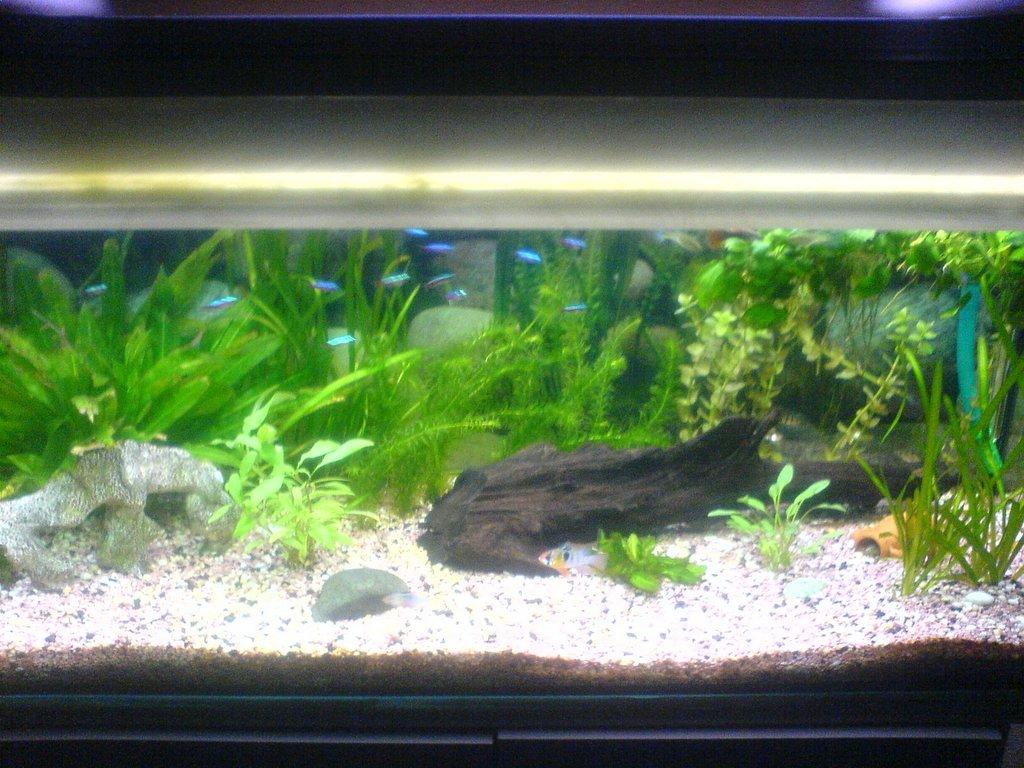 aquarium skyblog pelvicachromis pulcher pistia stratiotes en aquarium entretien d aquarium